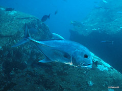 Giant trevally - Similan, Thailand