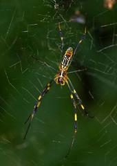 Silk Spider, Male, Nephilia clavata (aeschylus18917) Tags: macro nature japan spider nikon g web spiderweb orb micro 日本 nikkor 蜘蛛 f28 vr pxt arachnida orbweaver araneae 105mm tetragnathidae nephila 105mmf28 クモ silkspider 105mmf28gvrmicro ジョロウグモ d700 nikkor105mmf28gvrmicro ダニエル danielruyle aeschylus18917 danruyle druyle ルール ダニエルルール jyorougumo nephiliaclavata