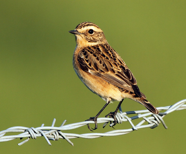 WHINCHAT (2)