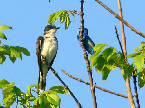 Eastern Kingbird and Indigo Bunting interacting 20100805