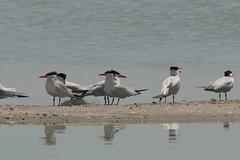 8d. Caspian Terns