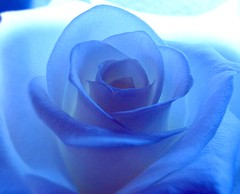 Meine weisse Rose ist nun eine  blaue Rose;  white rose  now a blue rose (eagle1effi) Tags: blue macro rose canon germany deutschland flora colorful expression kunst experiment selection fav20 powershot stunning excellent tungsten fav30 magical tuebingen visualart closer damncool wolfram tubingen masterclass bluerose nolimits bluey badenwrttemberg wrttemberg badenwuerttemberg 15faves 30faves canonmacro 10faves views100 views200 20faves views1000 100comments bridgecamera 25faves artexpression natureinblue eagle1effi ishotcc niceeffects naturemasterclass ae1fave 3wordcomments llovemypics djangosmasterclass handselected yourbestoftoday artandexpression blauerose canonsx1is canonpowershotsx1is ae1faves sx1best updatecollection sx1isbest canonsx1ispowershot canonpowershotsx1isreferenceshot dibenga stadttbingen effiartkunstcopyrightartisteagle1effi beautiflower klassebild effiarteagle1effi ber100malgesehen
