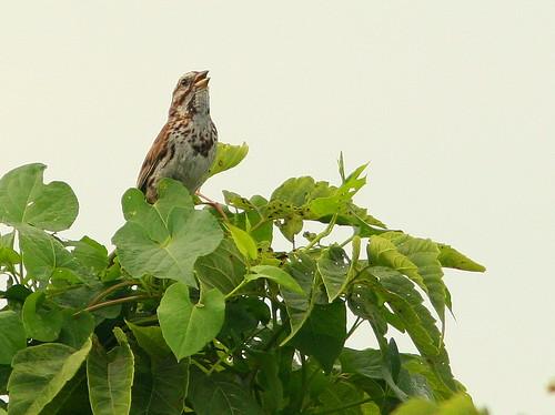 Song Sparrow 20100807