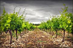 vineyard (heavenuphere) Tags: 3 france green leaves landscape vanishingpoint vineyard wine grapes gi ardèche rhônealpes 1750mm