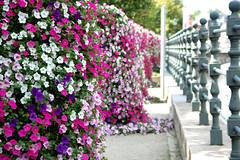 Bloemen langs de Dijle (~~Nelly~~) Tags: belgium belgique belgi bloemen mechelen dijle haverwerf aplusphoto