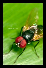 #65 Common House Fly (See Fei) Tags: macro fly flash bugs raynox mandaiorchidgarden tamron90 platediffuser k20d
