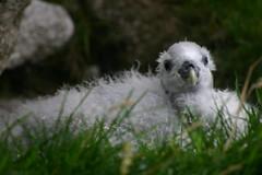 Great Skua Baby on St Kilda