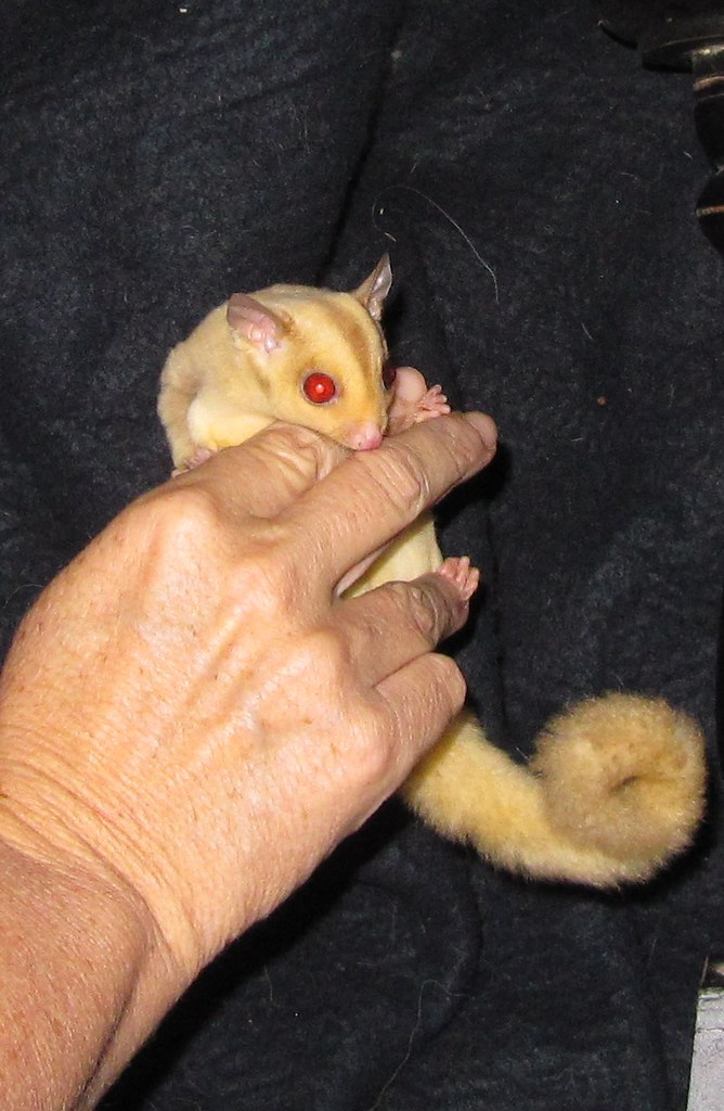 The World's Best Photos of cremino and sugarglider ...