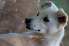 Ophry - Alfina - Luglio 2010 (pilupax) Tags: cane animale regni mammifero ophry