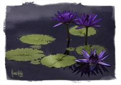Meet Lily, Lily and Lily! (Kristal Kraft ~ DenverDwellings) Tags: lilypad purpleflowers denverbotanicgardens flickrshop