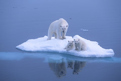 Polar bears on ice floe (Exodus Travels - Reset your compass) Tags: trip travel holiday snow travelling ice animals norway boat ship no wildlife polarbear polarbears exodus spitzbergen adventuretravel