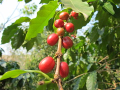 coffee berries! (Nicholas D Thomas) Tags: travel hippies bolivia backpacking commune guesthouse offthegrid alternativeliving gingersparadise