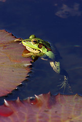 金線蛙  Rana plancyi (Fu-yi) Tags: nature closeup bokeh sony taiwan frog frogs 台灣 赤蛙科 金線蛙 蛙類 兩生類 ranaplancyi