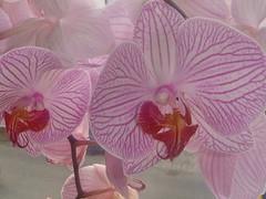 affen orchidee kaufen