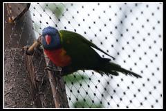 Lori (wulpix) Tags: bird birds animal animals zoo tiere prag praha lori tierpark vögel papagei tier vgel