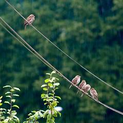 Not singin' in the rain (jyhem) Tags: pluie fil oiseau moineau sigmalens cluses cble formatcarr