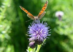 butterfly (wild teasel) Tags: orange butterfly scotland thistle lochlomond summerday blackspots gartocharn thedumpling