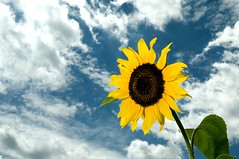 The Climb (ICT_photo) Tags: blue sky ontario flower green yellow clouds climb ant shakespeare sunflower patch teehee stratford ictphoto yupprettymuch youspelledshakespeareincorrectly andthestratfordivisitedwasinengland ihatespellingnazis happysqueeks youstilldidntspellitcorrectly youdonthatemeyourejustjealousofmyskillz imsuchastupid ianthomasguelphontario