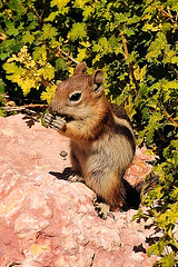 Chipmunk and his lunch (John Petrick) Tags: cute nature animal lunch furry lunchtime chipmunk chipmonk chipmunks d90 nomnomnom 18200mmvr animalkingdomelite cedarbreaksutah eatinganut chipmunkeating cutechipmunk achipmunkandhislunch chipmunkeatingseeds chipmunkandhislunch chipmunkinsouthernutah
