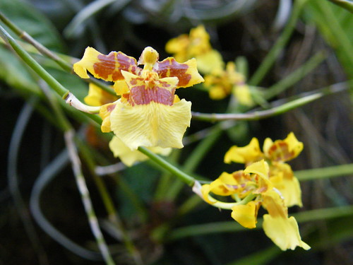 Oncidium [Cockrell Butterfly Center]