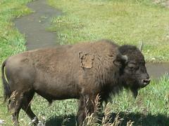 Buffalo!