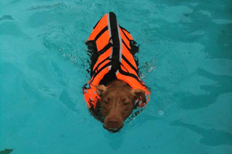Pit bull rescued by the Sula Foundation receives hydrotherapy