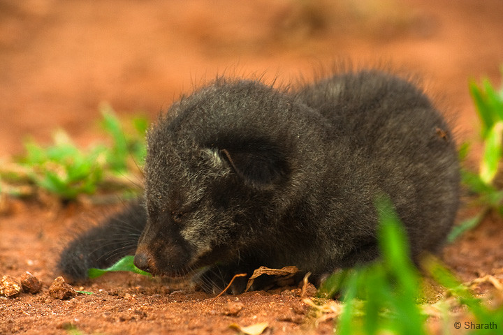 Mongoose Young Portrait