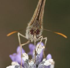 butterfly's eyes (*Chris van Dolleweerd*) Tags: flower macro nature closeup canon butterfly insect eyes wildlife natuur sigma ogen vlinder bloem sigma105mm canon450d chrisvandolleweerd