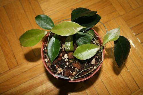 Hoya ischnopsus cutting