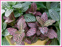 The green Fittonia albivenis (F. verschaffeltii var. argyroneura 'Nana' with the unidentified pink-veined variety
