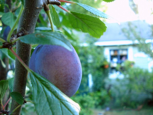 the plums are ready