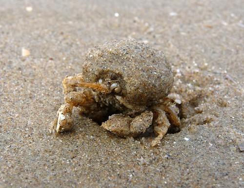 22330 - Masked Crab, Rhossili, Gower