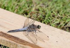 20100822-165038_Libelle (daniel.boegli) Tags: schweiz zug libelle insekt steinhausen tier orthetrumcancellatum grosserblaupfeil segellibelle steinhauserwald