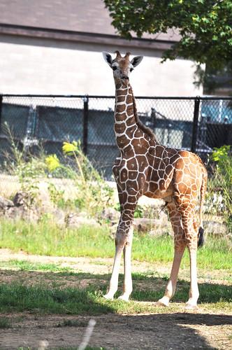 2 week old giraffe at Como  Zoo