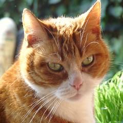 Maartje : 01/01/1998 - 26/08/2010 (Cajaflez) Tags: orange cat ginger kat chat katze gatto poes maartje cc200 cc100 saariysqualitypictures