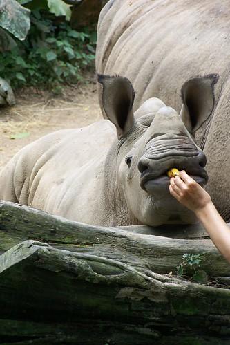 Rhino Singapore Zoo
