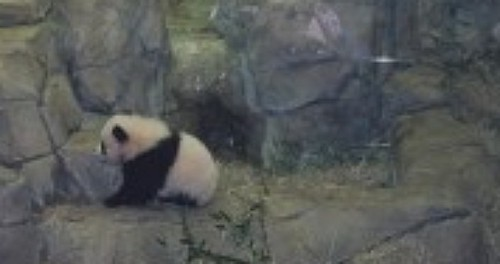Baby Panda Washington DC