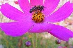 Flower bees (11) (brian395) Tags: flowers garden bokeh bees honey sunflowers stamen pollen med cosmos highiso livno bosniaandherzegovina bosnaihercegovina bridgecamera lovelytown fujis5700 pcele fbih begluk livanjskikanton ljepgrad