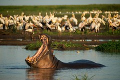 Hippo Smile (Dave Schreier) Tags: africa lake david water pool smile birds dave mouth tanzania pond kenya wildlife teeth pelican hippo manyara schreier wwwdlsimagescom