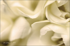 Ain't real~ ({ :: alive :: }  ) Tags: white flower macro canon turkey istanbul april alive 60mm 2010 500d taxim