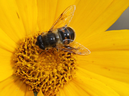 F is for hoverfly