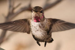 Adolescent  Anna's in flight (William Jensen Photography) Tags: bird hummingbird avian strobe californianative annashummingbird birdinflight calypteanna canon300mmf4lis canon40d