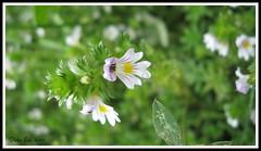 Minuscoli fiorellini (My Way2008) Tags: macro verde giallo viola bianco edi fiorellini tesido