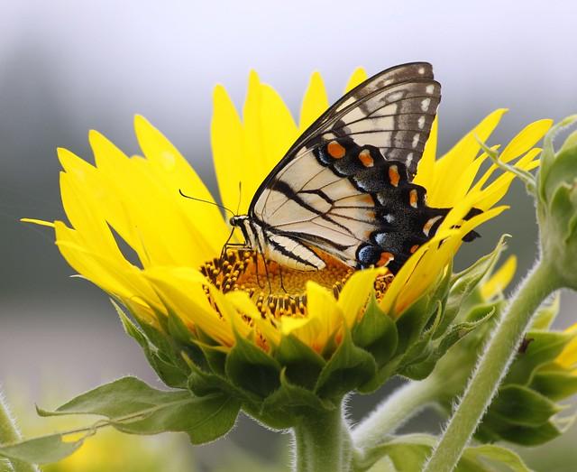 N@-Butterfly