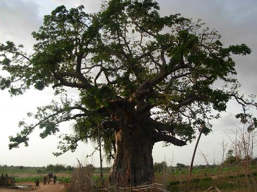 A huge tree