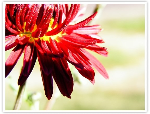 crizantema2-sh