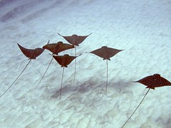 Spotted Eagle Ray formation, Keauhou Bay, Big Island, Hawaii.
