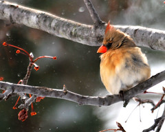 Somebody Turn Off The Snow (mbryan777) Tags: snow cold tree bird oklahoma female cherry snowflakes branch cardinal stems 500mm tamron bartlesville 18f 200500mm mbryan777 dsh3952cx michaelbryanphotography