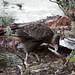 Carancho juvenil nel campeggio sul Lago Roca