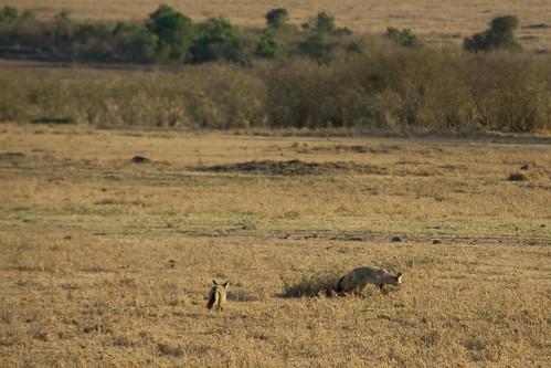 Bat-eared Fox - Maasai Mara NP, Kenya